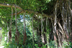 Dominica, Cabrits National Park, 20